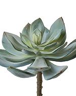 Суккулент Эхеверия Гиббифлора светло-зеленая припыленая