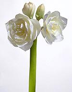 Амариллис махровый белый 76 см 2 цв 2 бут 6/24