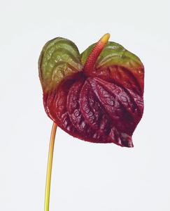 Купить Антуриум бордово-зеленый в-73, д-13 см  12/120