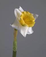 Нарцисс бело-желтый 48 см 12/144