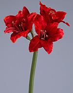 Амариллис мини красный 56 см 3цв 1бут12/144