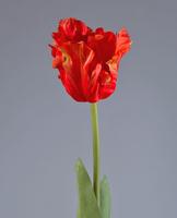 Тюльпан Попугай красно-оранж 77 см в-10 см 12/72, У