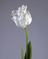 Тюльпан Попугай белый 77 см в-10 см 12/72, У