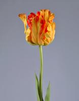 Тюльпан Попугай желто-оранж 77 см в-10 см 12/72, У