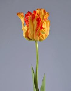 Купить Тюльпан Попугай желто-оранж 77 см в-10 см 12/72, У