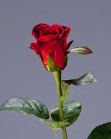 Роза Анабель рубиновая