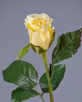 Роза Анабель бледно-золотисто-розовая
