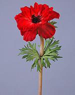 Анемон красно-бордовый