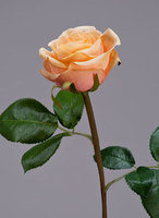 Роза Флорибунда Мидл крем-персик