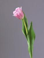 Тюльпан Даймонд нежно-розовый