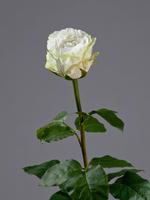 Роза Английская белая