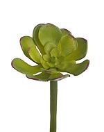 Мини-Суккулент Эониум Декорум зеленый