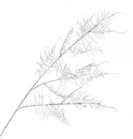 Ветка искусственная Аспарагус